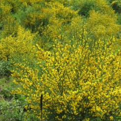 Scotch broom growth habit