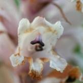 Orobanche minor flower