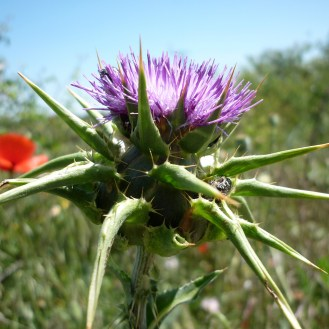 Blessed milkthistle (Silybum marianum) flower head