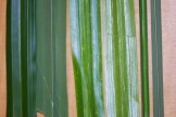 Carex pendula (left) and Scirpus microcarpus (middle) have similar leaf blades in width and are easily distinguished from the much smaller Carex obnupta (right).
