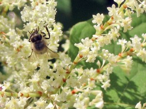 Knotweed Honeybee