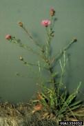 Meadow knapweed