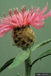 Meadow knapweed flower