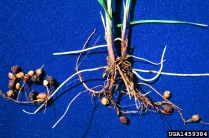 Yellow nutsedge roots and bulbs