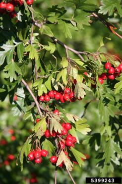 English hawthorn berries