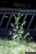 Italian plumeless thistle (Carduus pycnocephalus)