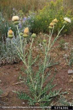 Wavyleaf thistle (Cirsium undulatum)