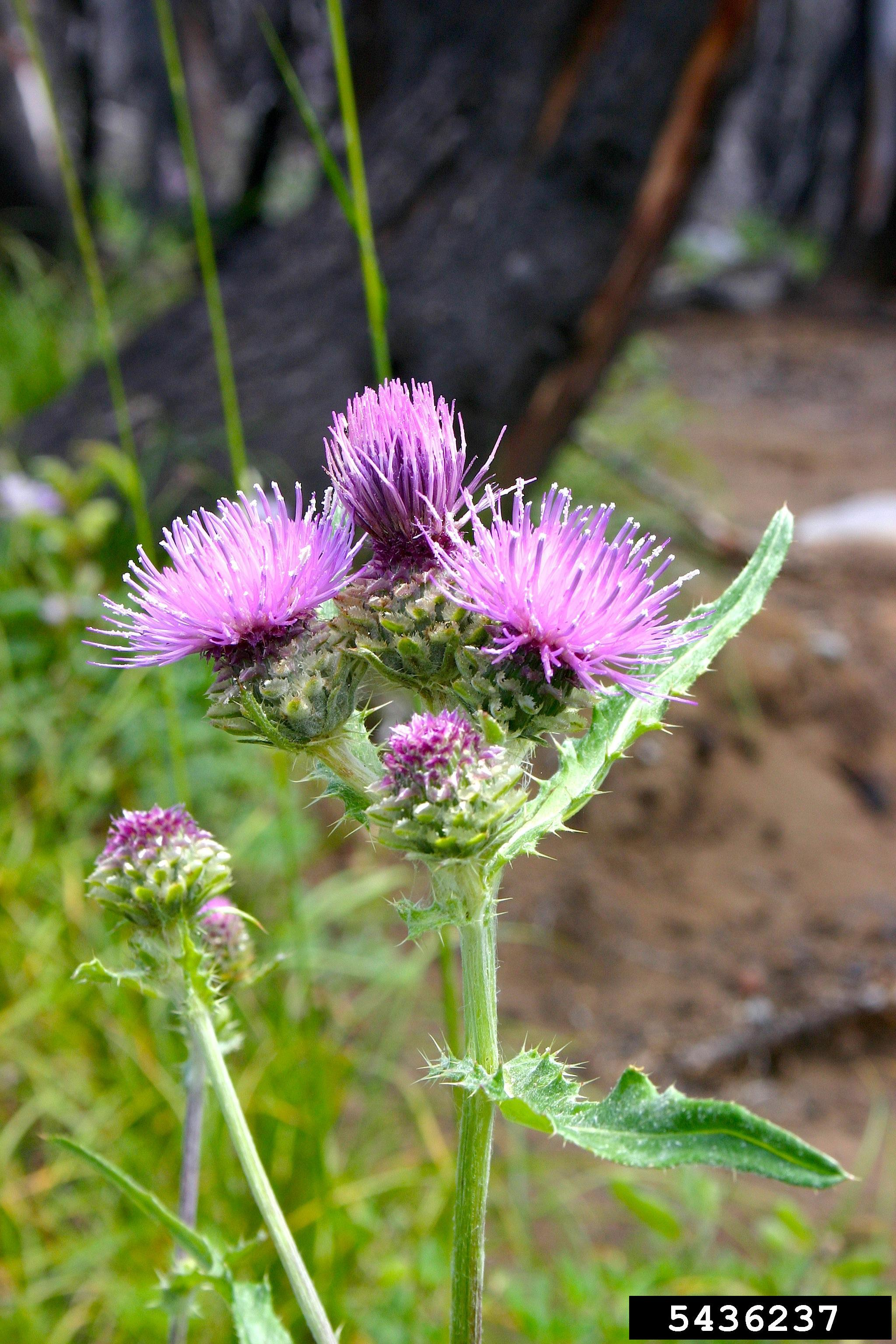 Think Twice Before Killing Those Thistles Thistle Identification