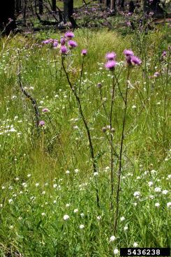 Fewleaf thistle (Cirsium remotifolium)