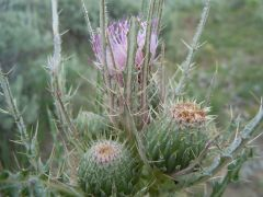 Clustered thistle (Cirsium brevistylum)
