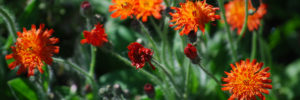 Orange hawkweed in bloom