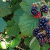 blackberryslider