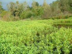 Water primrose infestation