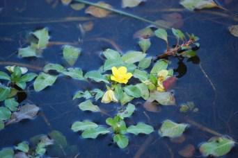 Water primrose