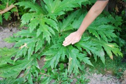 Giant hogweed leaf with hand for perspective