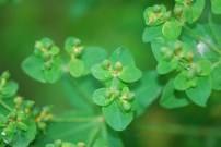 Oblong spurge seed capsules