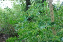 Oblong spurge in seed