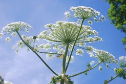 Giant hogweed flower head