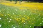 Meadow hawkweed infestation