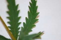 sulphur cinquefoil leaf
