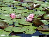 Fragrant water lily with pink flowers