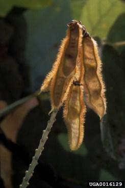 Kudzu seed pod