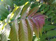 Tree-of-heaven leaf coloration. Photo: Samuel Leininger, Clackamas SWCD