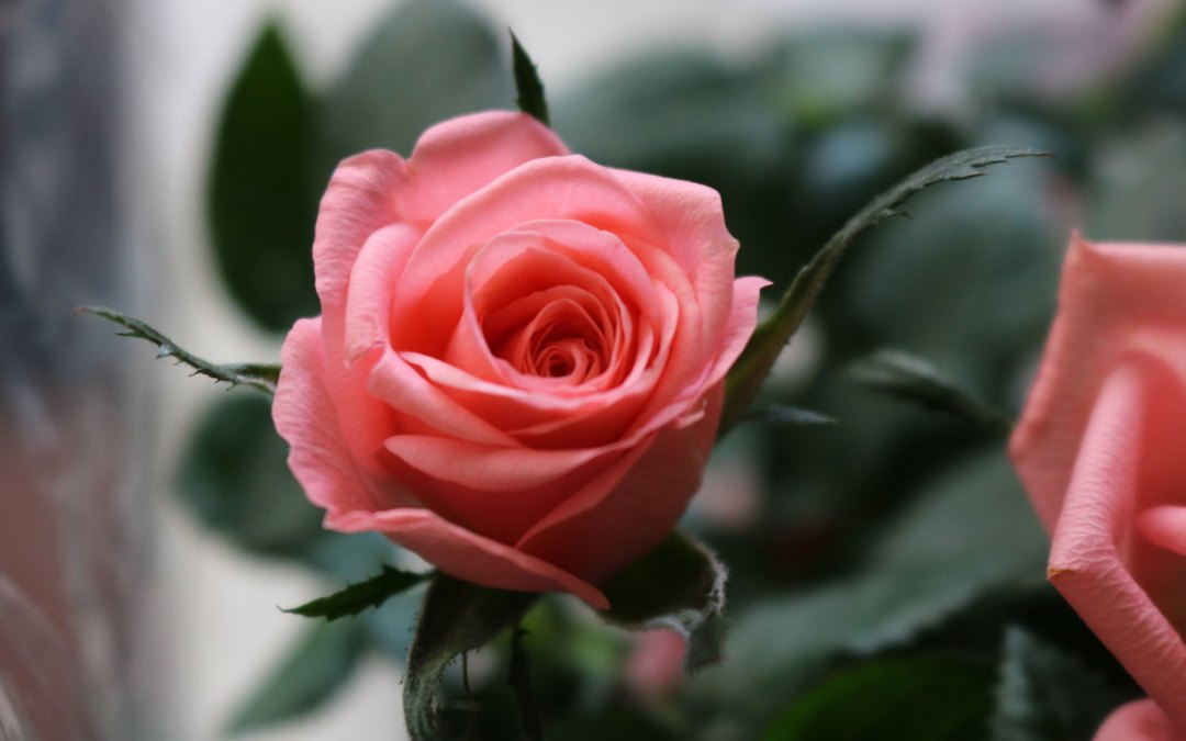 Herbs for Your Heart: Rose