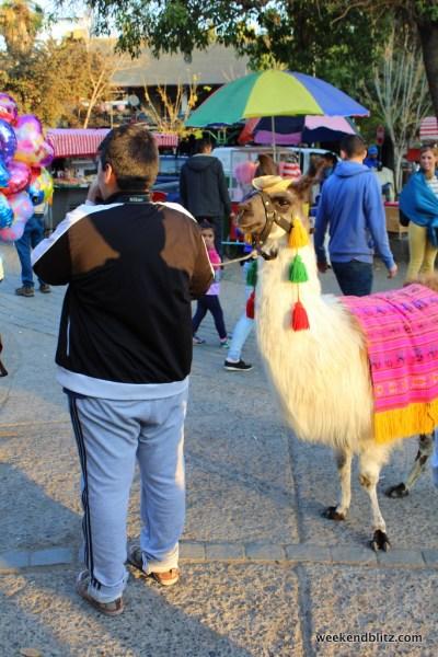 It's not Chile if you don't see a lama on the street!