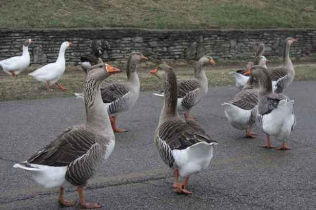 picture of geese