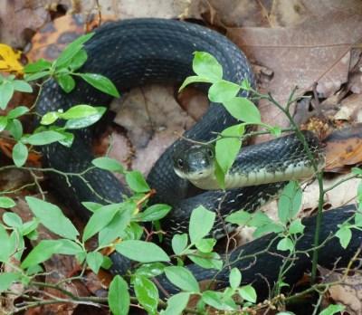 1st Black Rat Snake