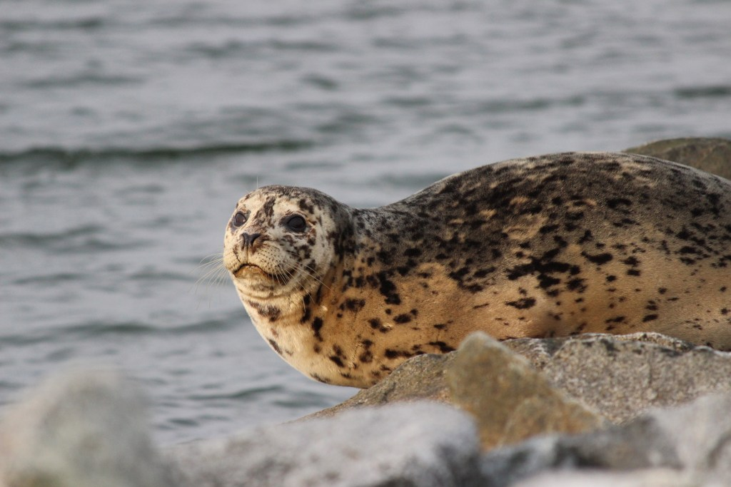 A Harbour Seal on Iona's south jetty
