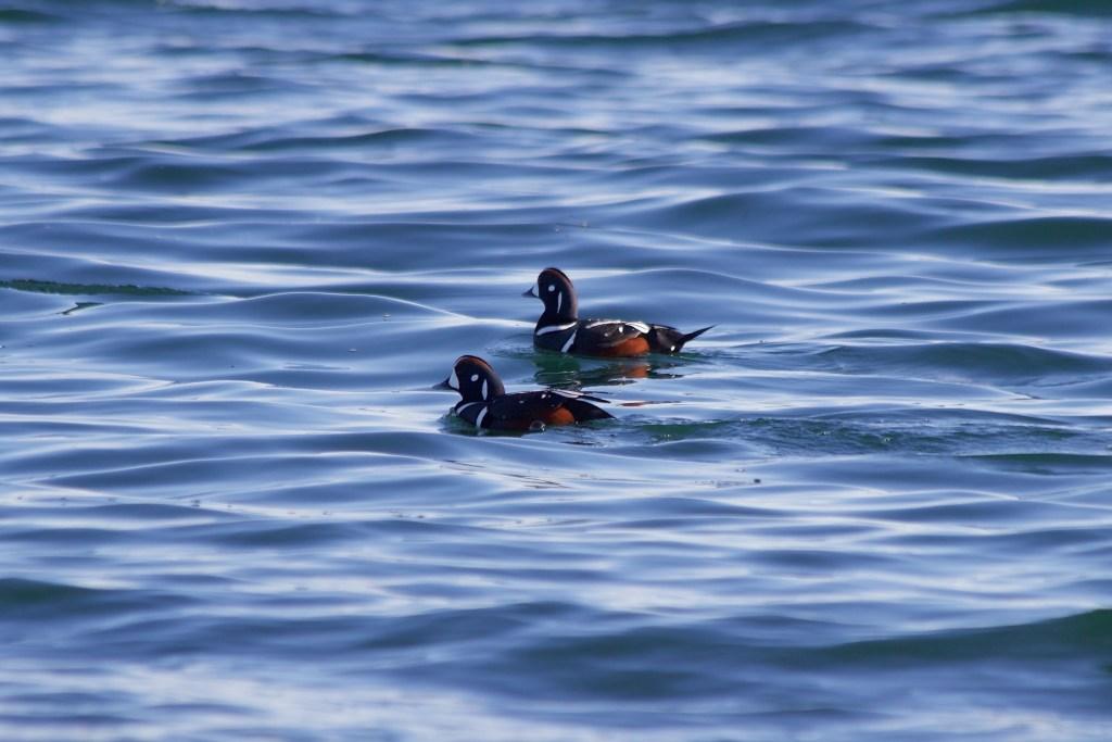 Two male Harlequin Ducks at Tsawwassen Ferry Jetty
