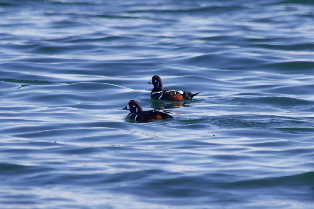 Two male Harlequin Duck
