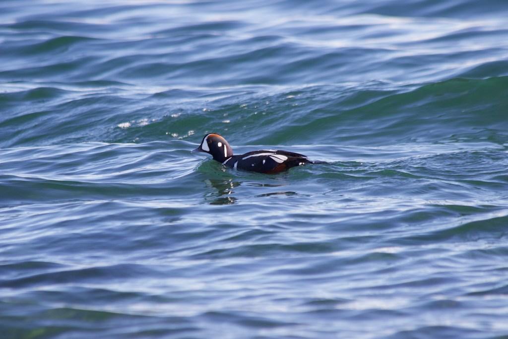 Harlequin Duck at Tsawwassen Ferry Jetty