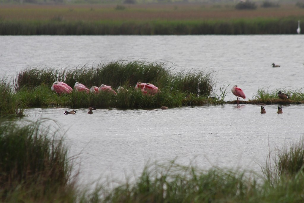 Roseate Spoonbill in Golden Meadow, LA in March