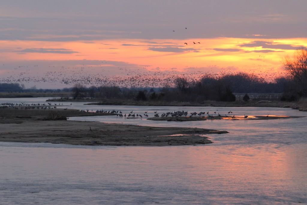 Sandhill Cranes remain in the river, while huge flocks lift into the sunrise in the distance