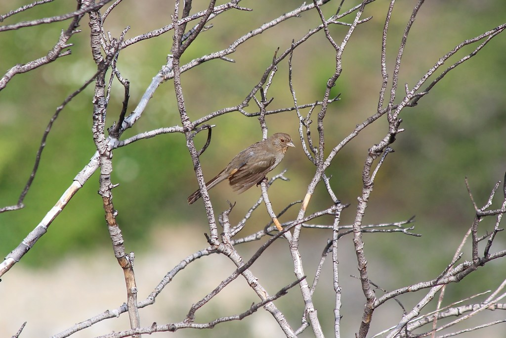 The muted rusty browns of a California Towhee