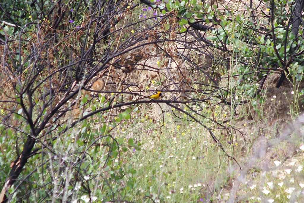 Hooded Oriole (male); note the bright yellow typical of southwestern birds