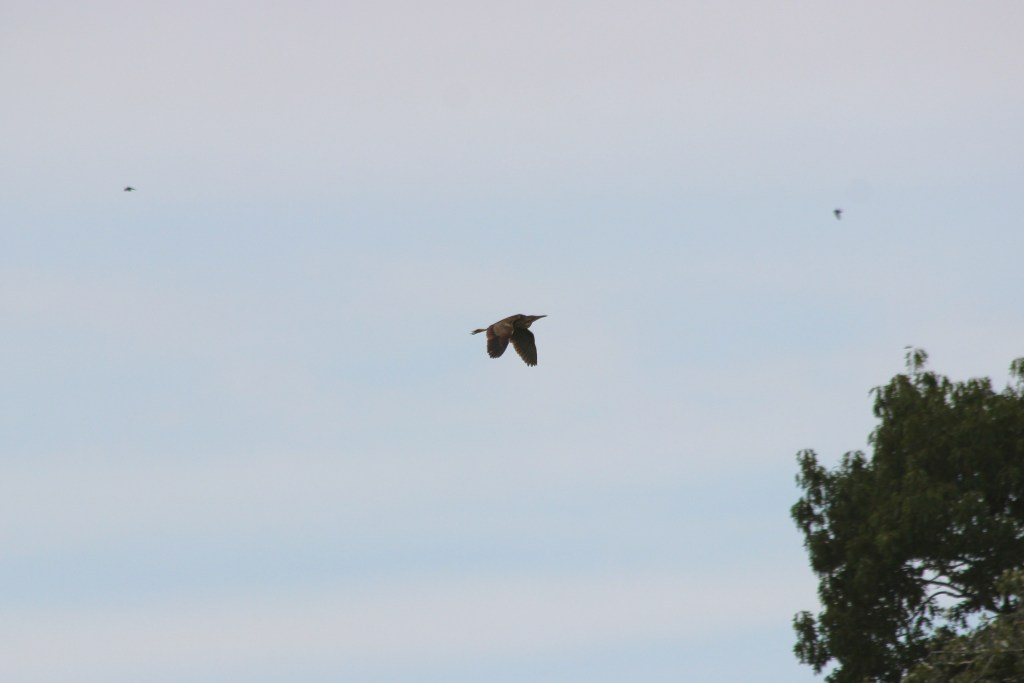 An American Bittern--and two Vaux's Swift--in flight over Colony Farm