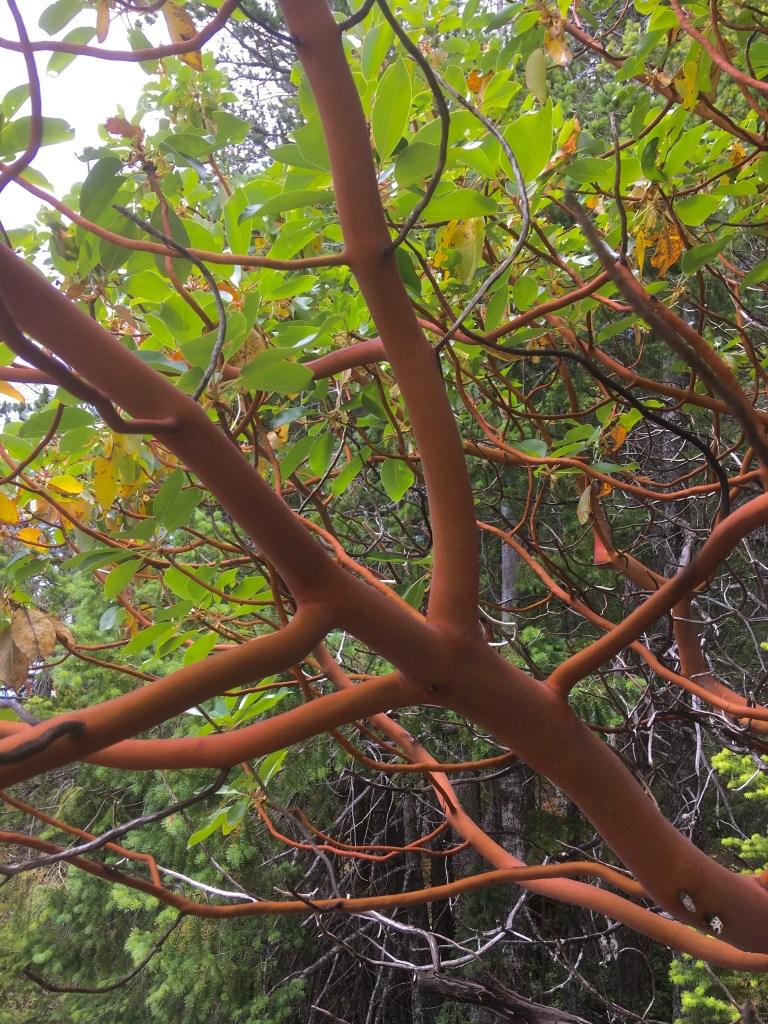 Beautiful Arbutus trees at the summit of Mount Daniel