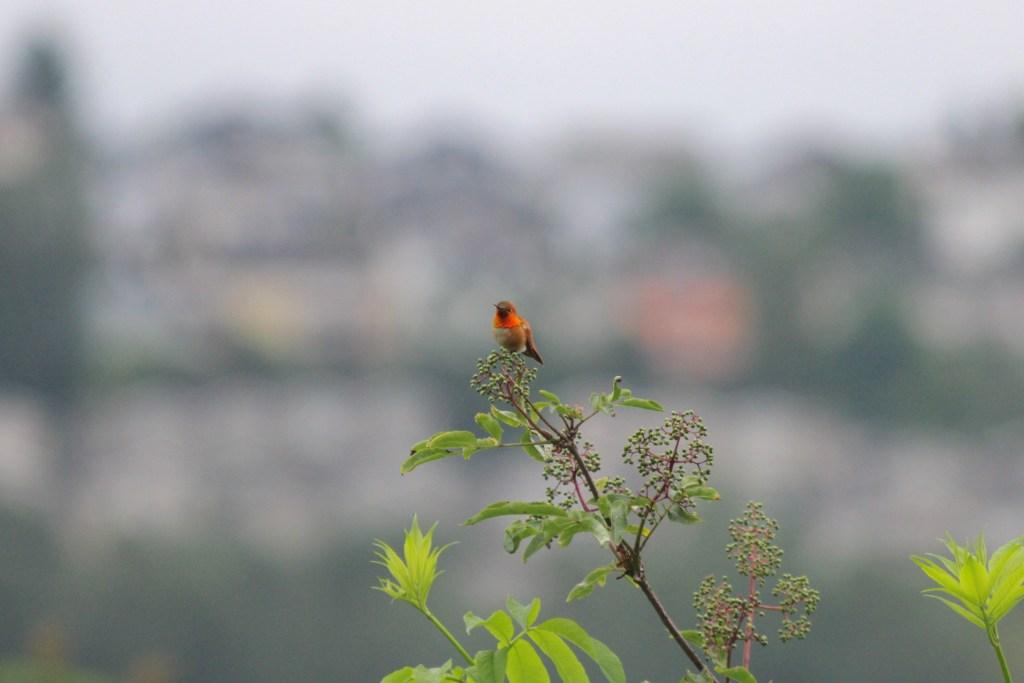 Rufous Hummingbird at Colony Farm