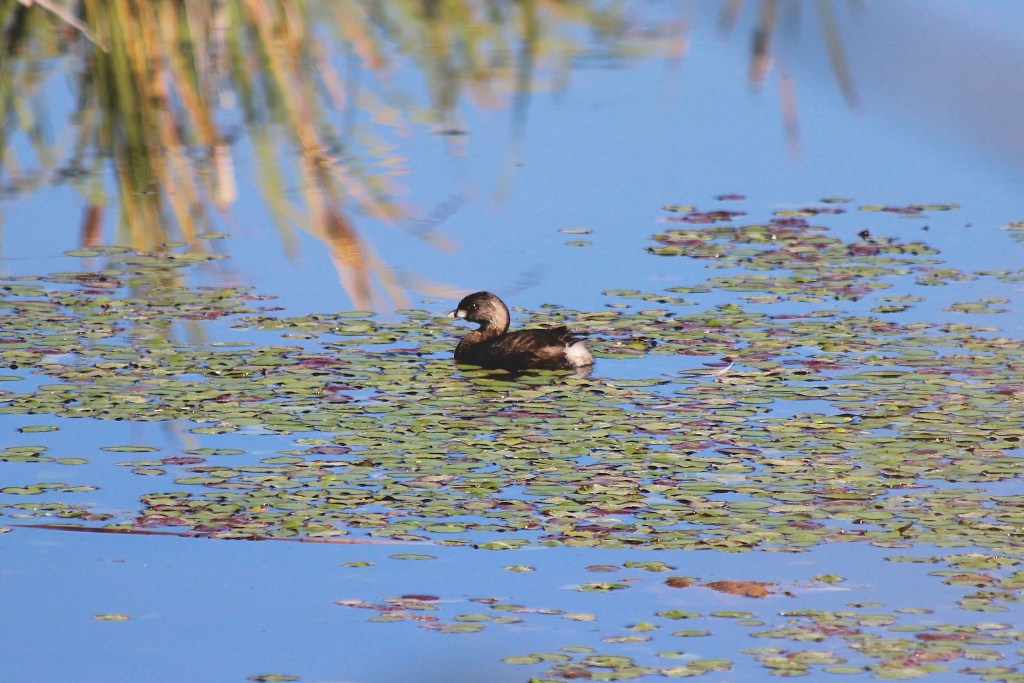 Pied-billed Grebe in the pond at Colony Farm