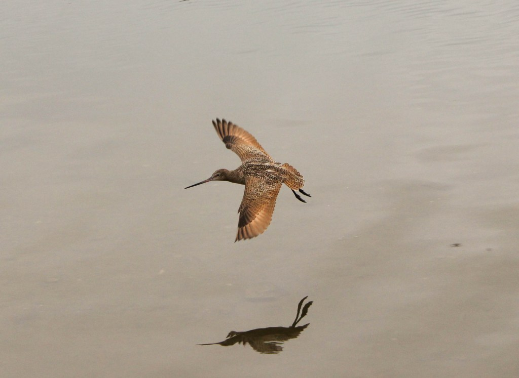 A single Marbled Godwit in flight in California