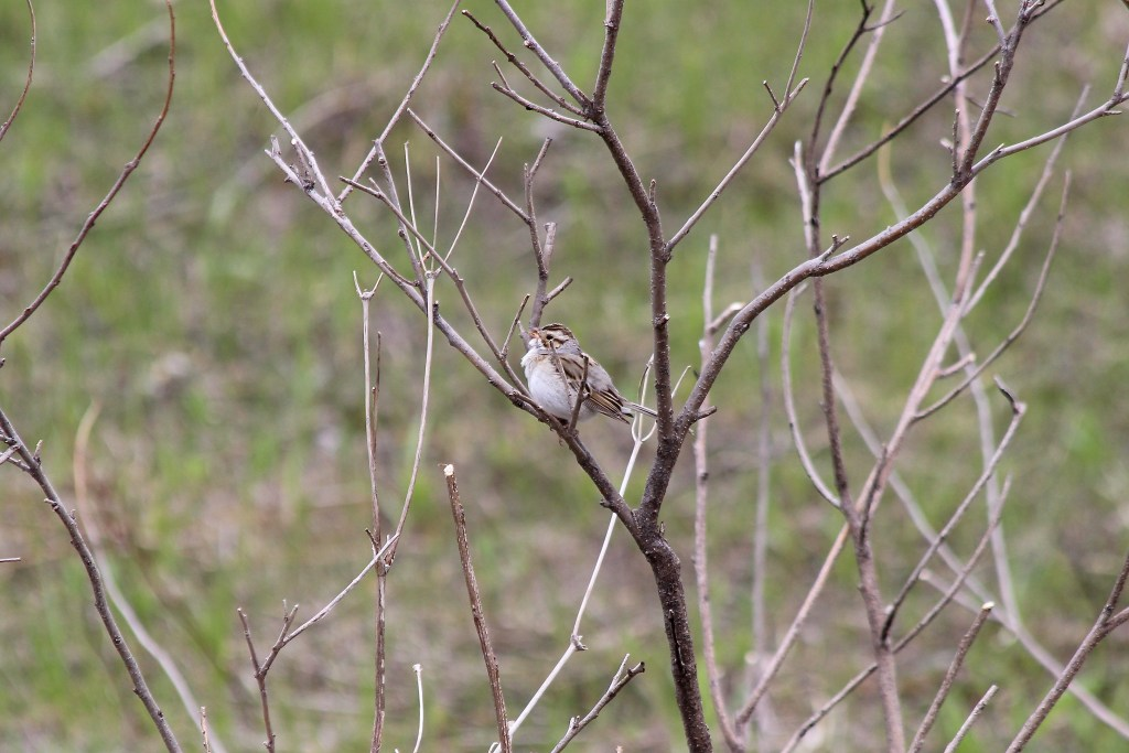 A Clay-colored Sparrow singing