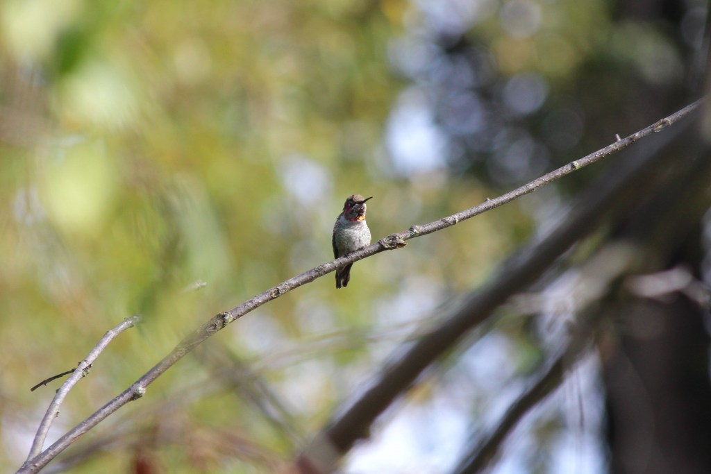 First-year male Anna's Hummingbird at QE Park