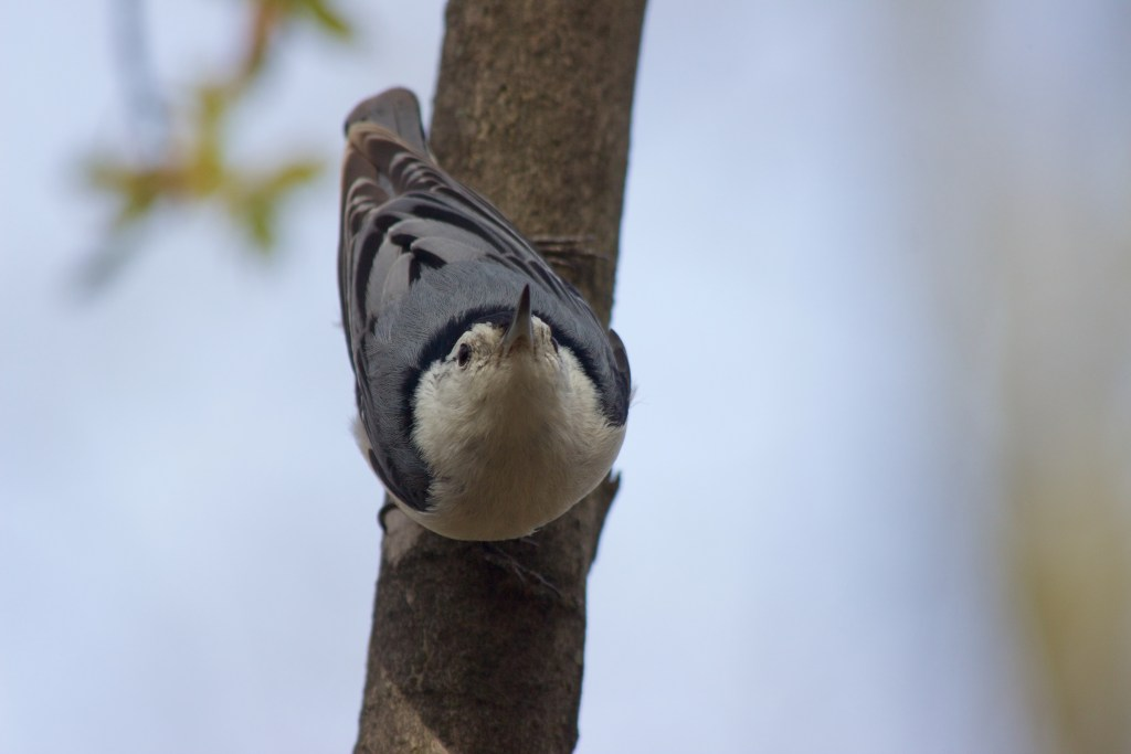 A White-breasted Nuthatch looking inquisitive