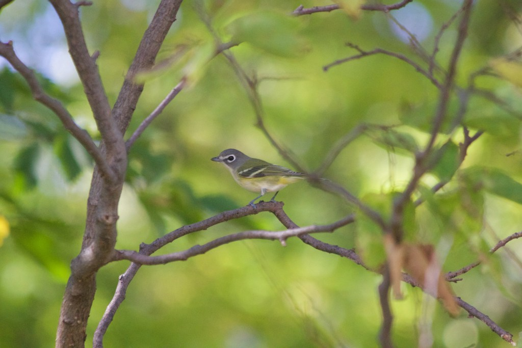 NOT a Cassin's Vireo, but it's eastern counterpart: a Blue-headed Vireo