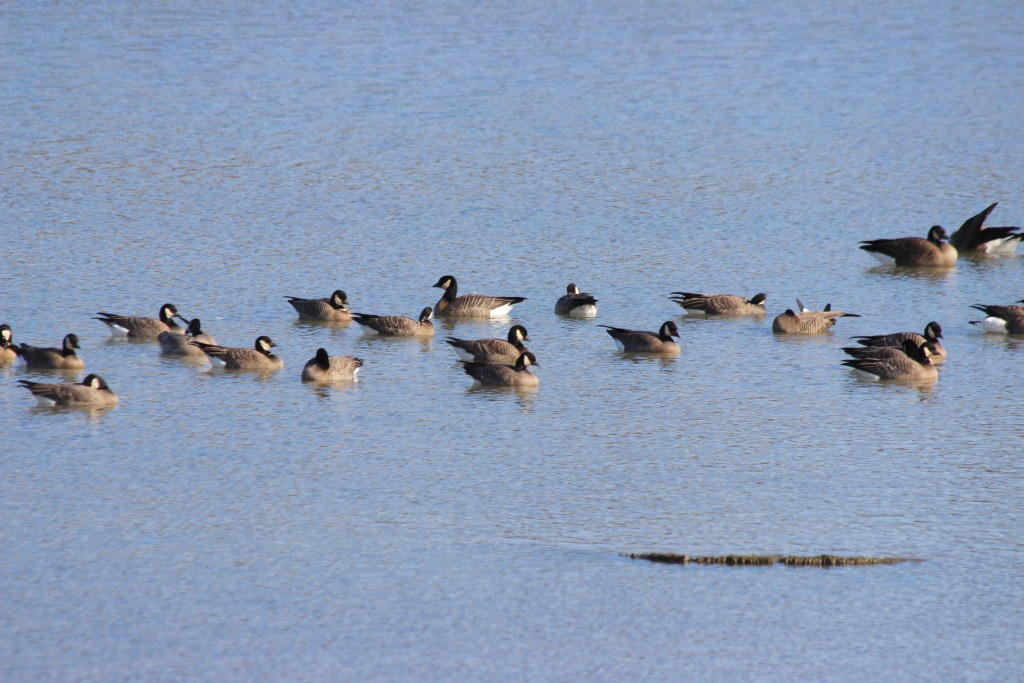A few Cackling Geese in a flock of 34 (note the daintier appearance because of the smaller heads and very short bills)