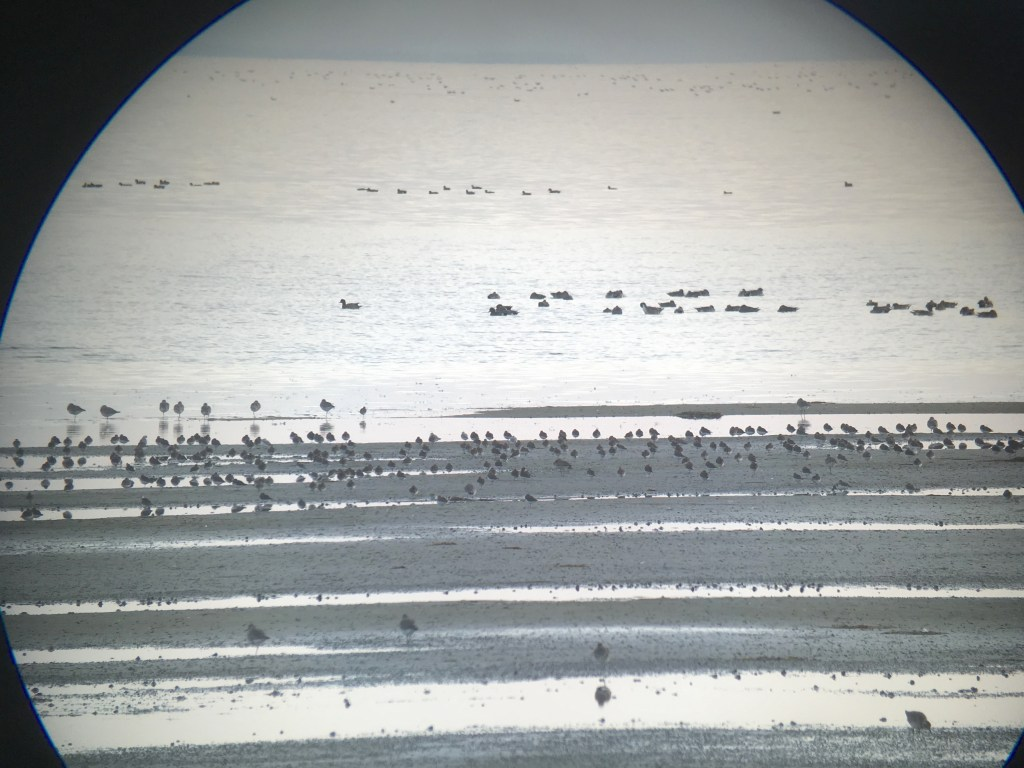 Tons of shorebirds at Boundary Bay, but lots of waterfowl way out there too!